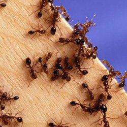Exterminator Wayne NJ Ant Removal Services