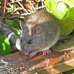 Exterminator Wayne NJ Rodent Removal Services